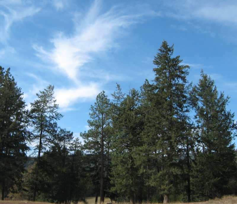 11 Blue Sky and Emeral Pines